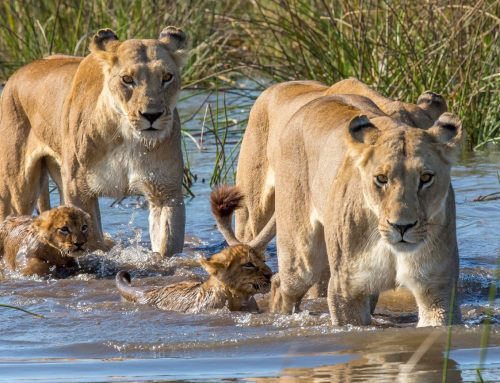 Botswana Lion Pride